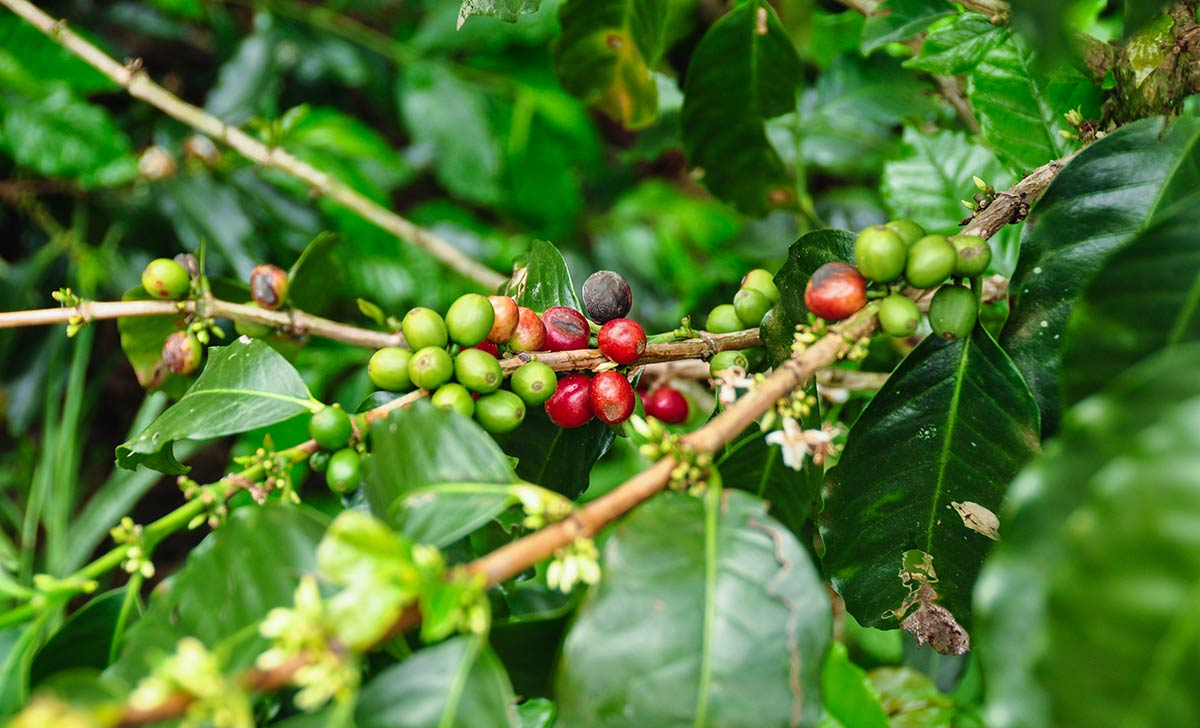 see beans on this Colombian coffee farm tour
