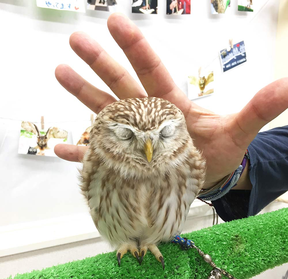 mini spotted owl at Owl Cafe Tokyo