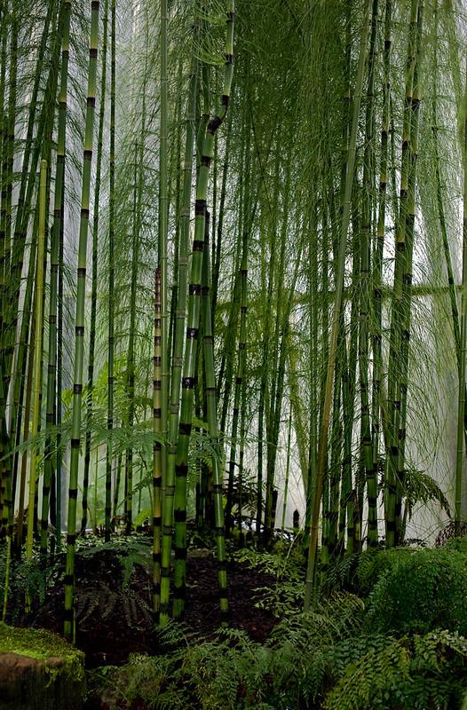Equisetum Myriochaetum (Equisitaceae) – photo ©  Stephen Buchan https://www.flickr.com/people/stephenbuchan/