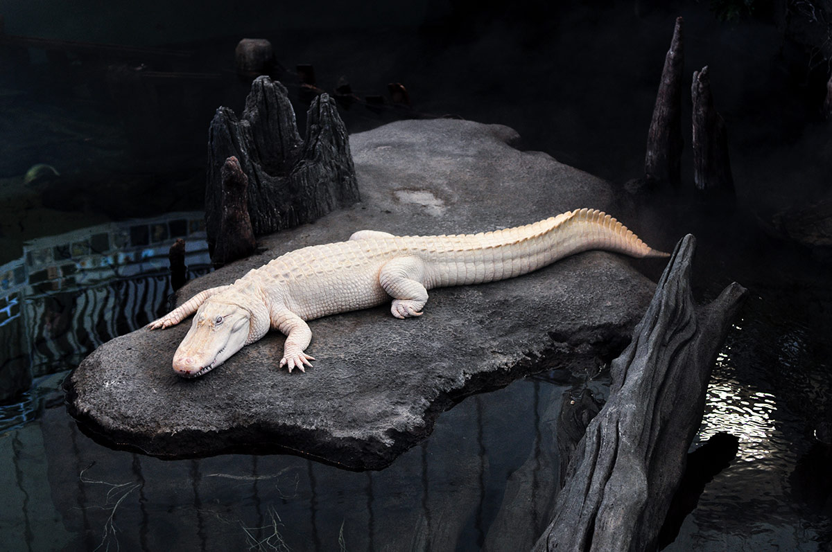 California Academy of Sciences albino alligator